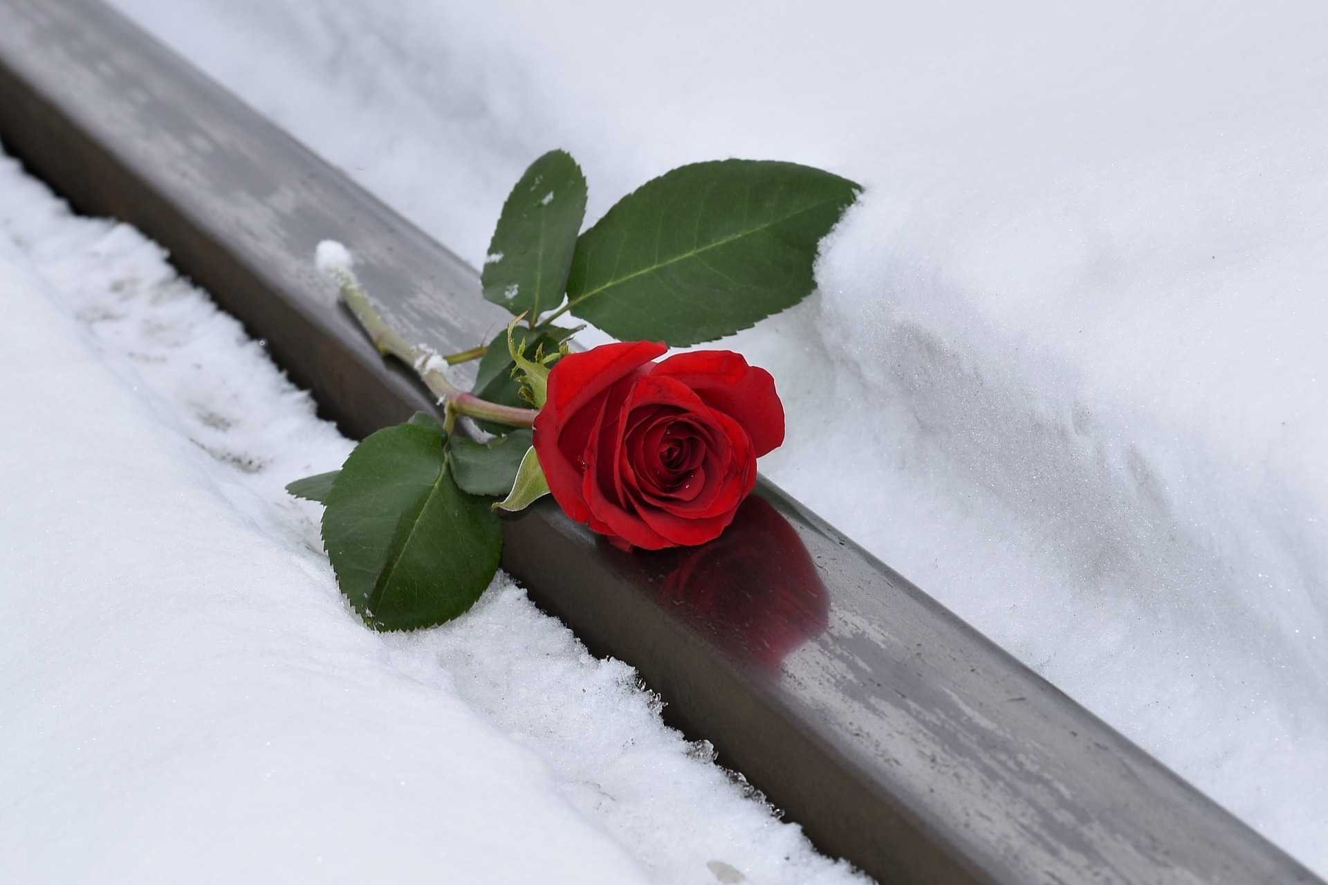 Rose for a Memorial Service